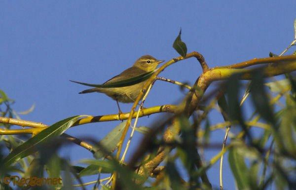 UK.KEN 24Aug16 Willow warbler01