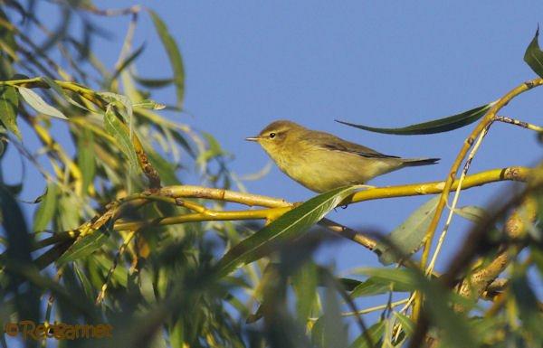 UK.KEN 24Aug16 Willow warbler02