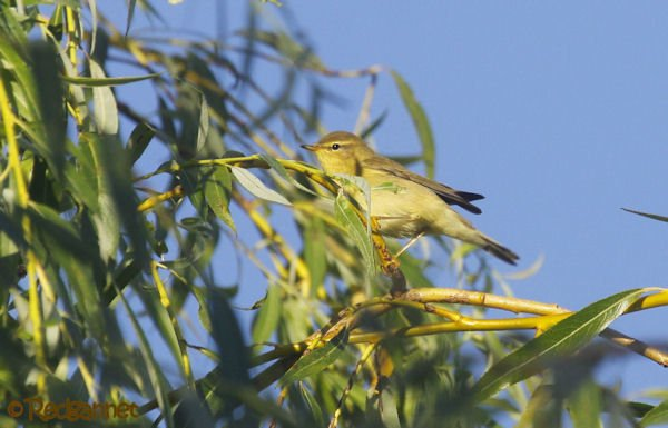 UK.KEN 24Aug16 Willow warbler03