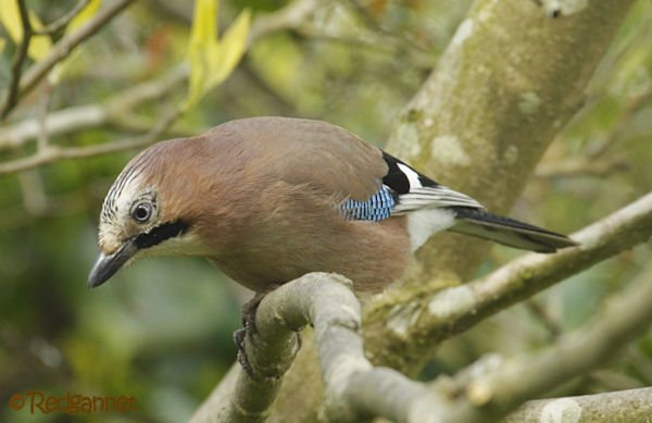 uk-ken-27apr16-eurasian-jay-01