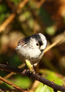 UK.KEN Long-tailed Tit 01
