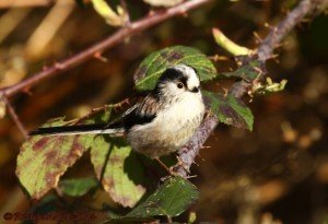 UK.KEN Long-tailed Tit 04