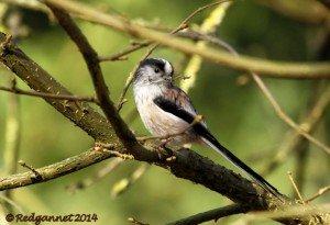 UK.KEN Long-tailed Tit 05