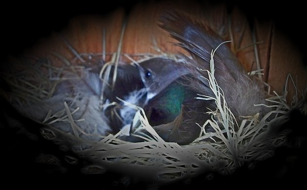 Violet-green Swallow Female in Nest