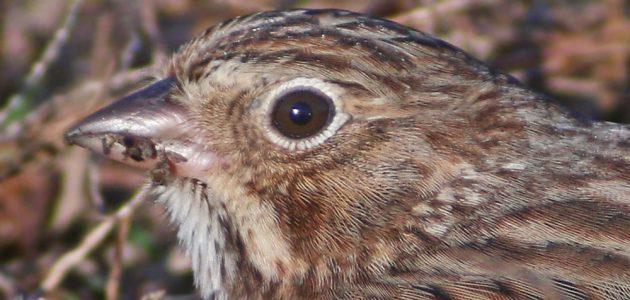vesper-sparrow-portrait
