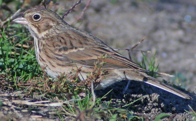 vesper-sparrow-at-jacob-riis-park