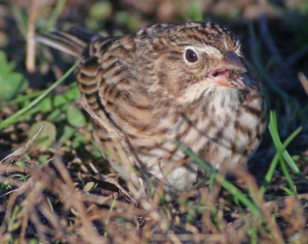 vesper-sparrow-at-kissena-park