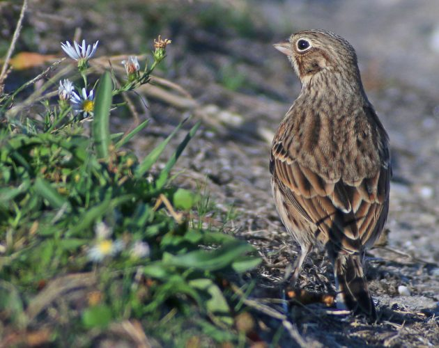 vesper-sparrow-back-view