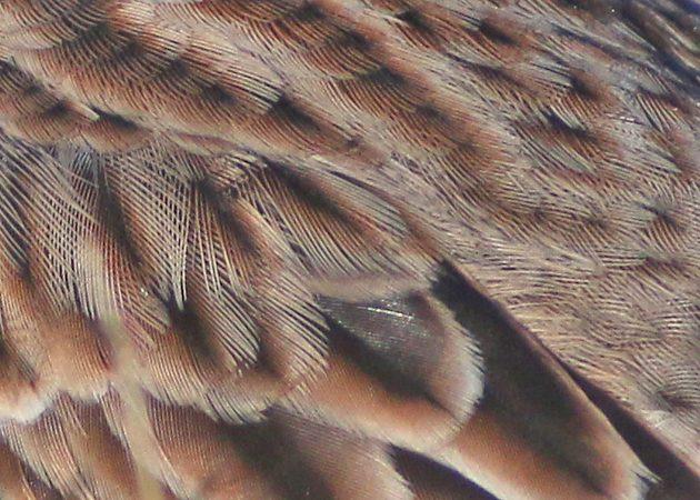 vesper-sparrow-feather-detail