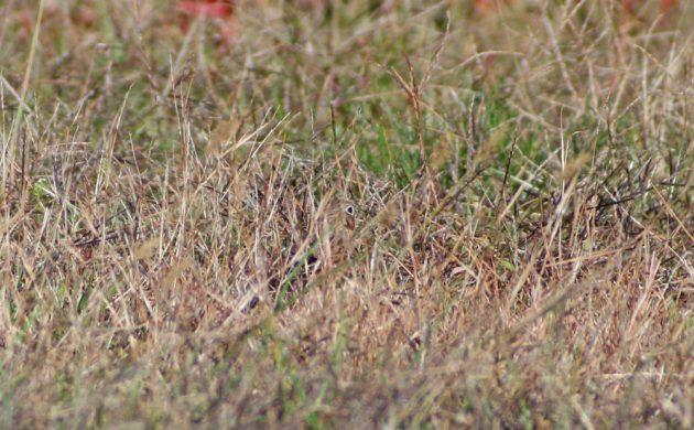 vesper-sparrow-hiding-in-the-grass