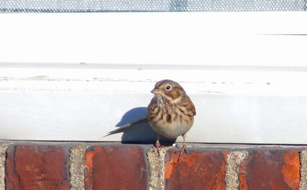 vesper-sparrow-on-window