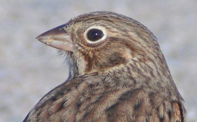 vesper-sparrow-portrait-2