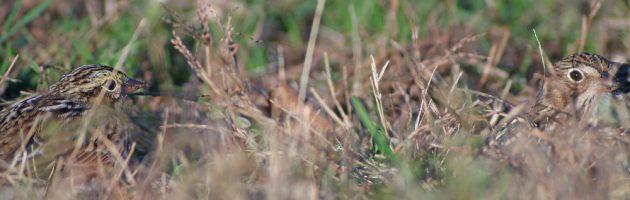 vesper-sparrow-with-savannah-sparrow