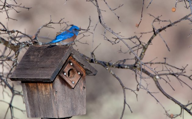 Western Bluebird Male Atop Birdhouse