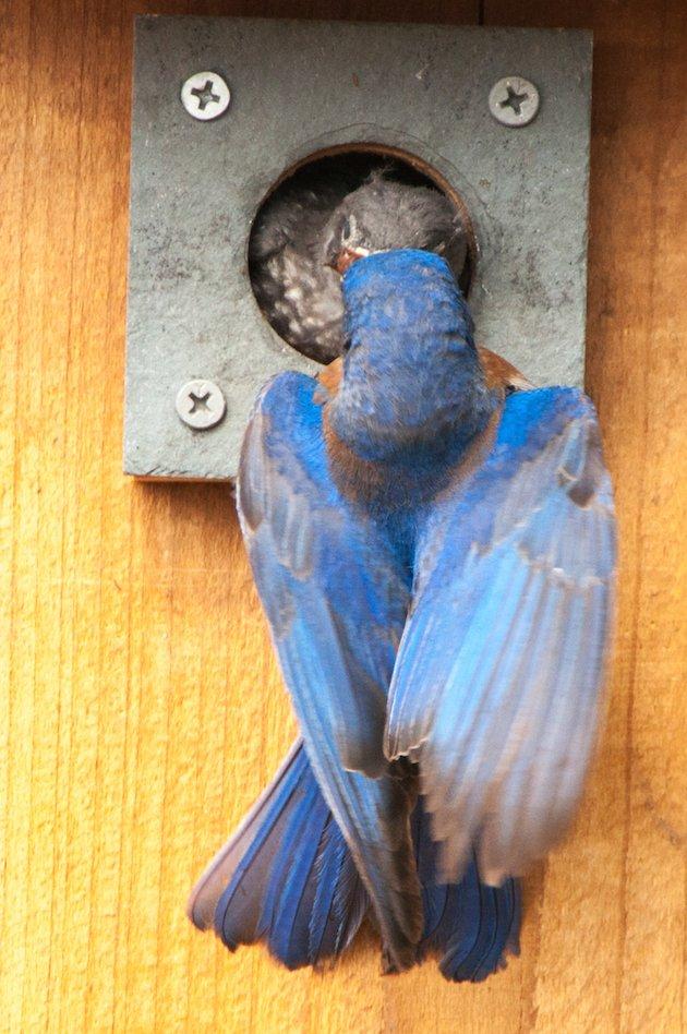 Western Bluebird Male Feeding Nestling