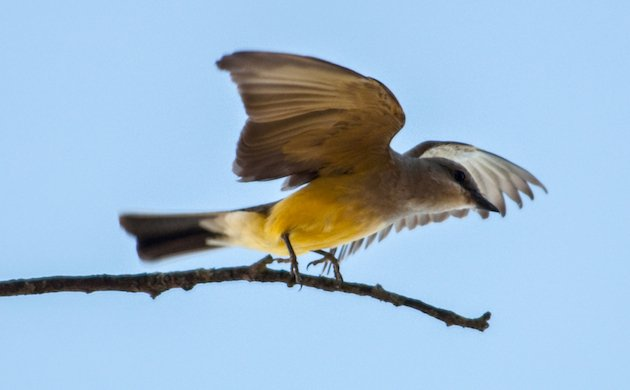 Western Kingbird Takes Off