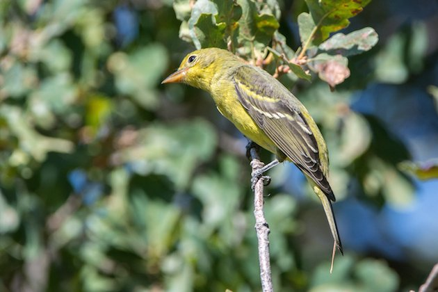 Western Tanager Female Juvie