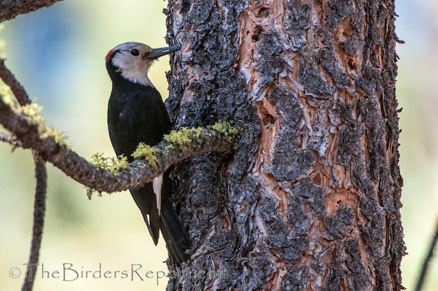 White-headed Woodpecker Male
