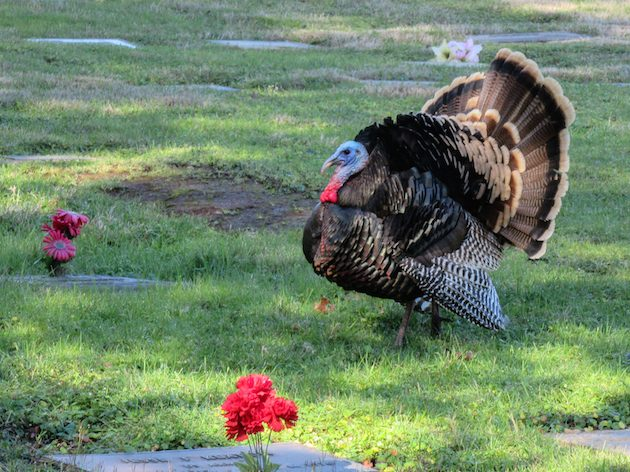 Wild Turkey Male