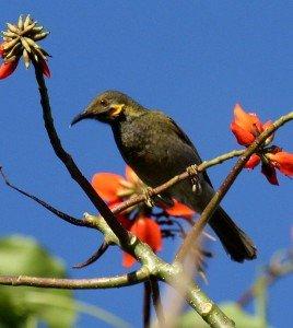 Northern Wattled_Honeyeater_taveuni_jun08
