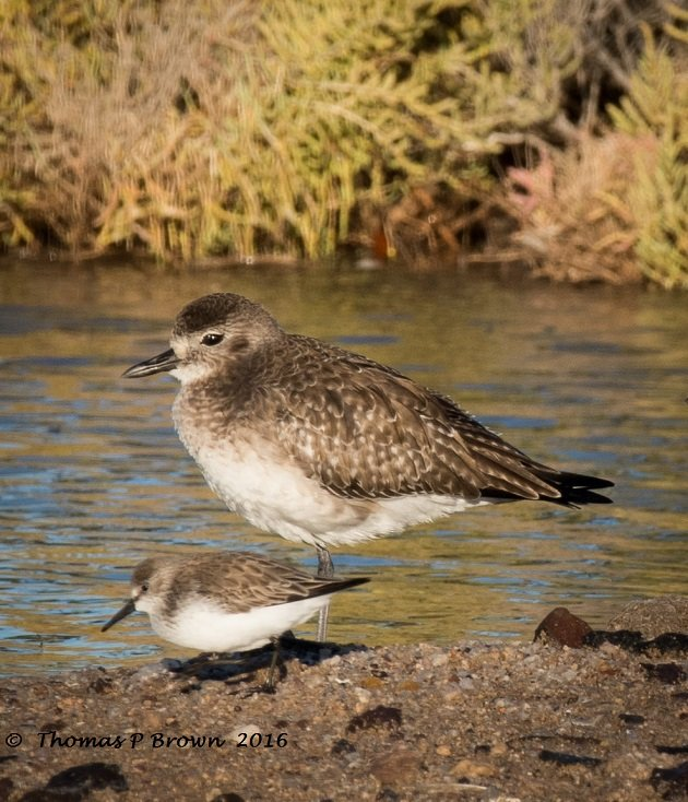 western-sandpiper-and-black-bellied-plover