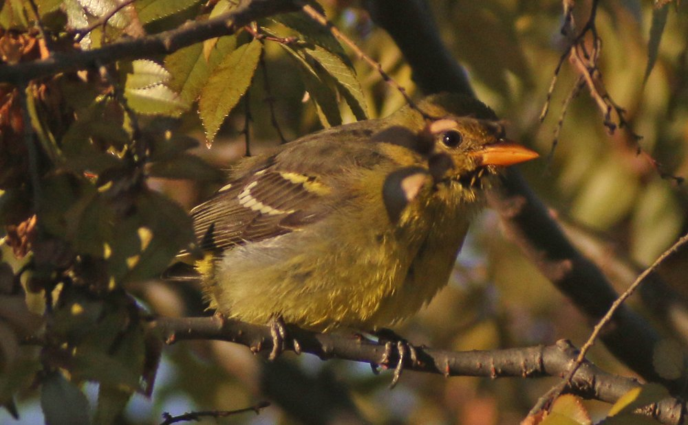 Western Tanager in Queens – Finally!