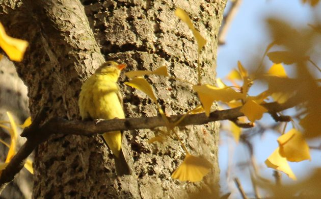 western-tanager-high-up-in-city-hall-park