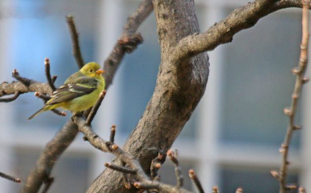western-tanager-in-manhattan-bbotw