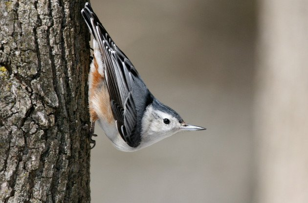 White-breasted-Nuthatch-by-Matt-MacGillivray
