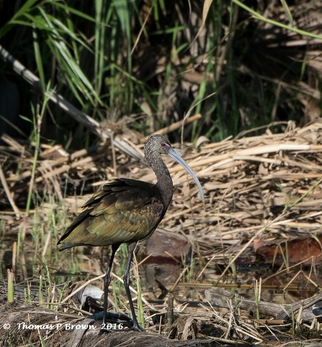 white-faced-ibis-1