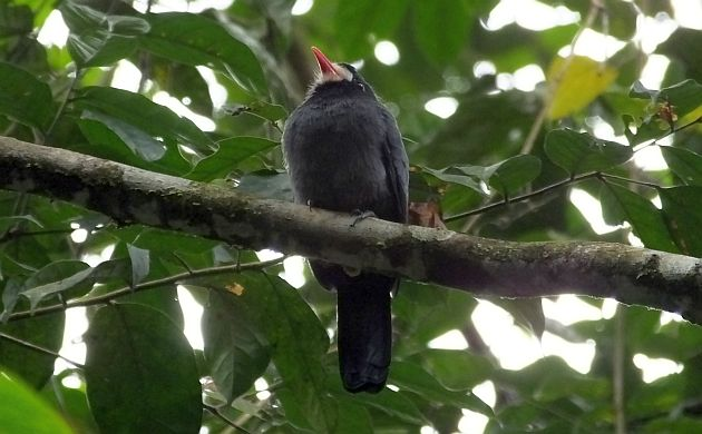 white-fronted-nunbird