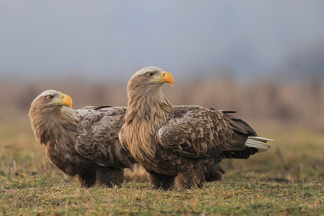 White-tailed Eagles by Szekeres Levente