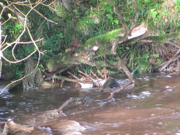 white-throated-dipper