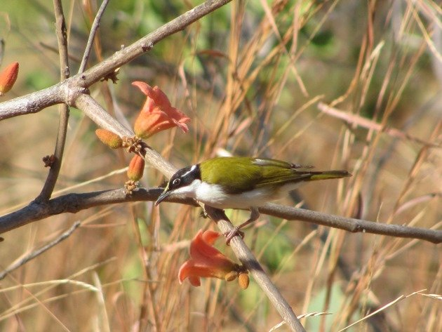 white-throated-honeyeaters