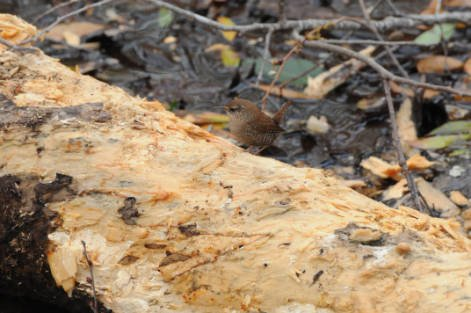 A Winter Wren on a log