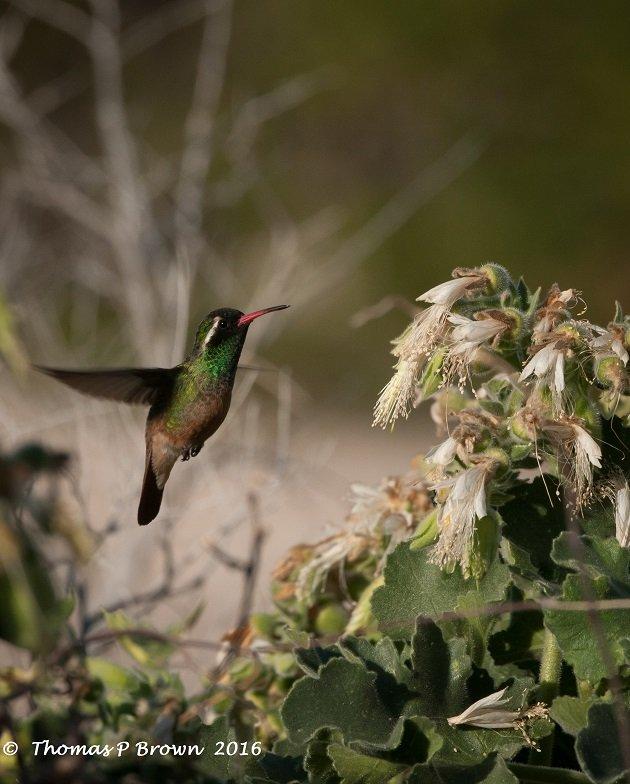 xanthuss-hummingbird