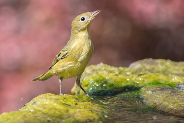 Yellow Warbler First Summer