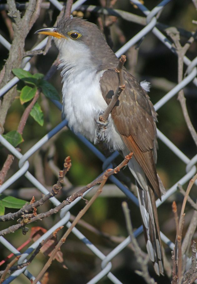 yellow-billed-cuckoo-at-jacob-riis-park