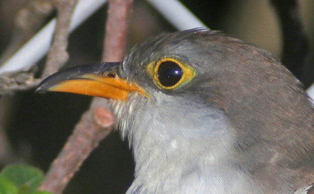 yellow-billed-cuckoo-closeup