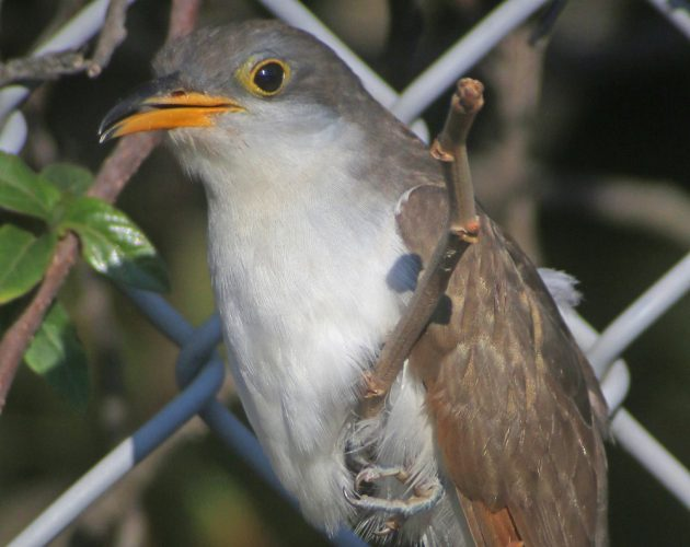 yellow-billed-cuckoo-in-queens