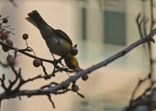 yellow-breasted-chat-feeding