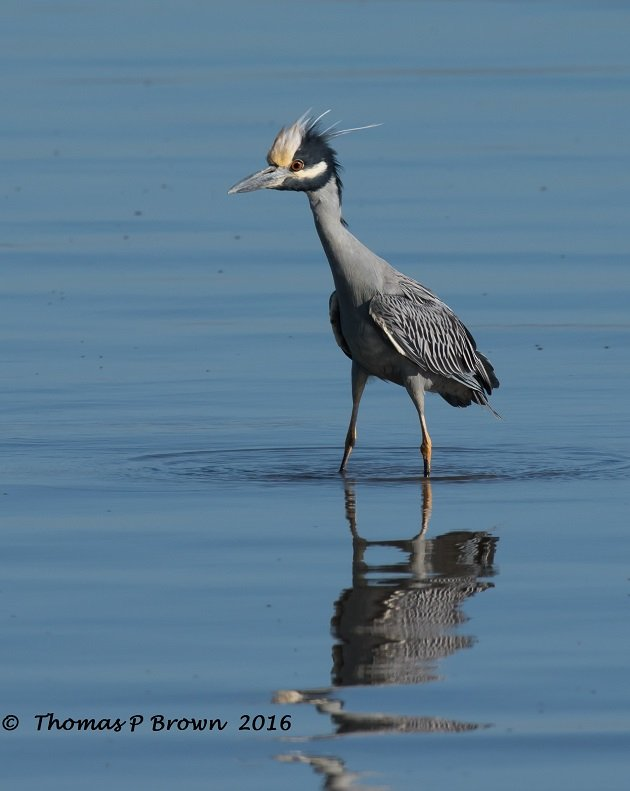 yellow-crowned-heron