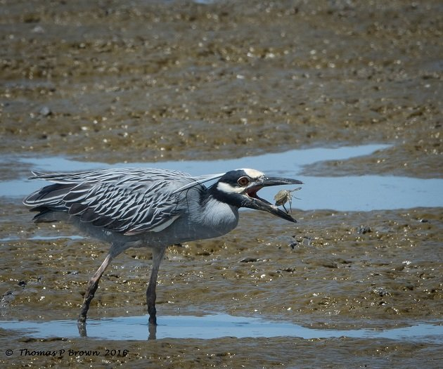 yellow-crowned-night-heron-1