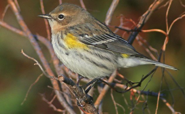 yellow-rumped-warbler-in-fall