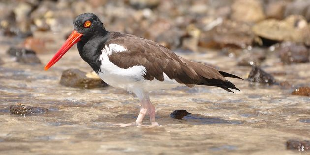 American Oystercatchers in Mexico