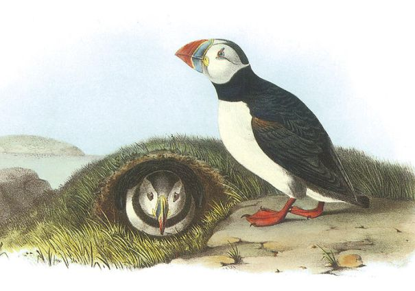 Audubon's painting of two puffins, one in a burrow