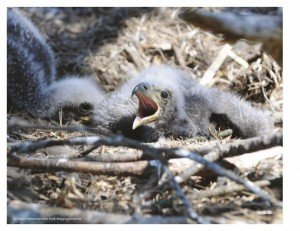 Baby Bald Eagle by Craig A. Koppie