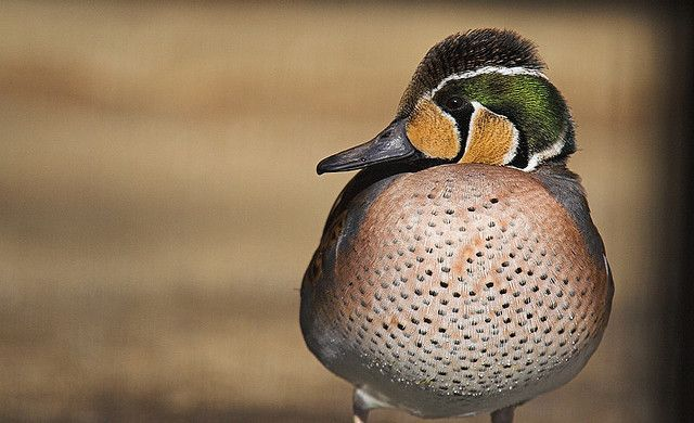 baikal teal by suneko