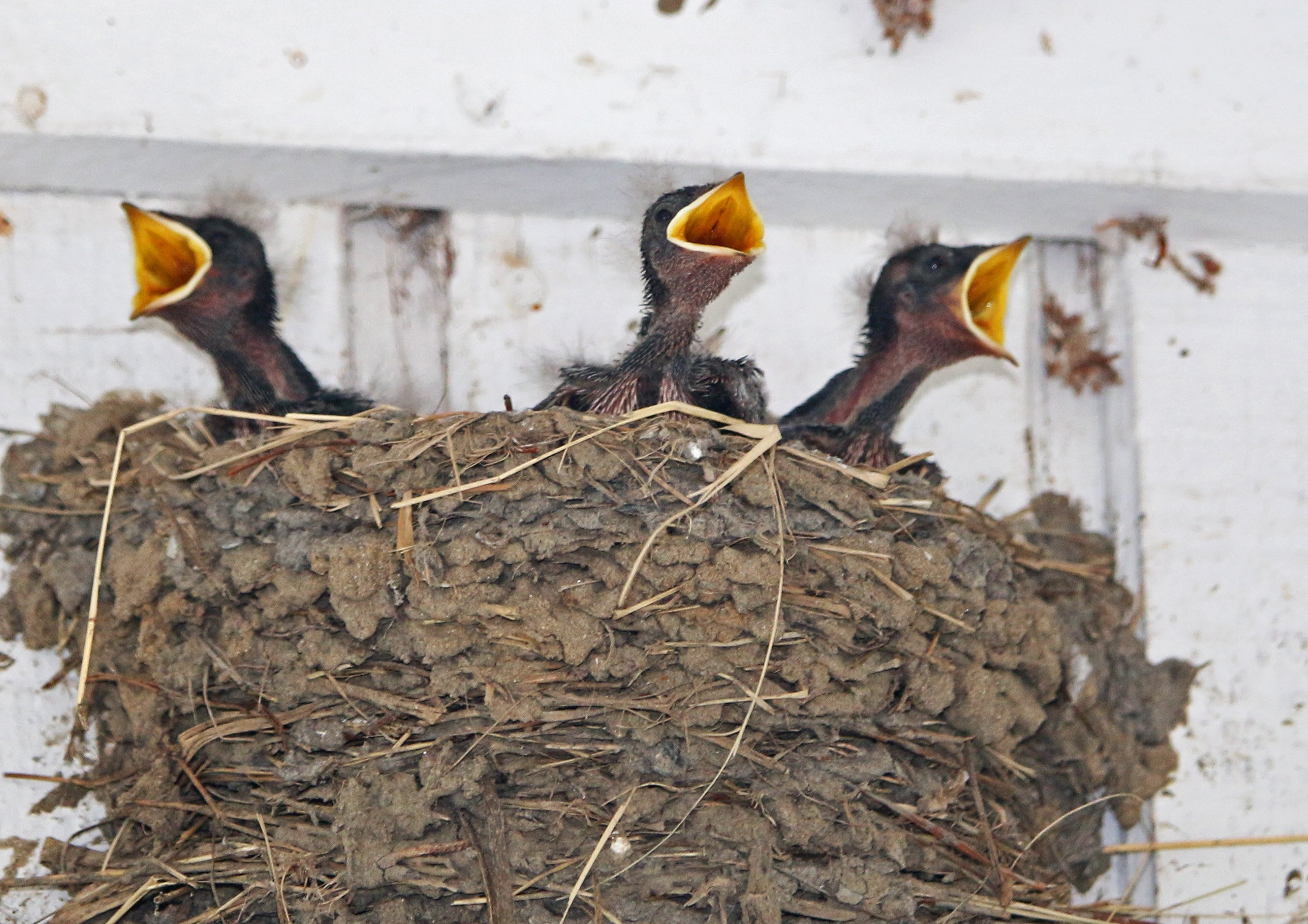 barn swallows, baby, chick, nature, georgia