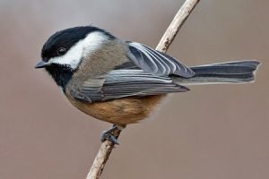 black-capped_chickadee_591np